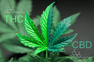 Cannabis senza THC
